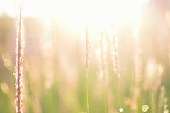 Soft defocused Fresh green grass and grass flower with water dro Royalty Free Stock Photo