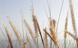 Soft dry grass, blurred background with the sea Stock Image