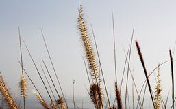 Soft dry grass, blurred background with the sea Royalty Free Stock Images