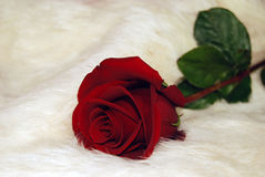 red rose on white fur Stock Images