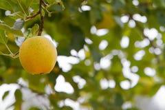 soft för tät fokus för äpple enkel upp yellow Arkivfoto