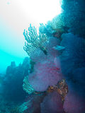 Soft and fan Corals at Sea of Cortez. Soft and fan corals with blue and white background Stock Photos