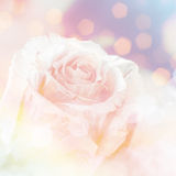 Soft fat rose Royalty Free Stock Images