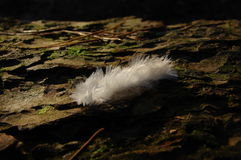 Soft Feather. Soft white feather lying on a tree bark in the forest in the sun Stock Images