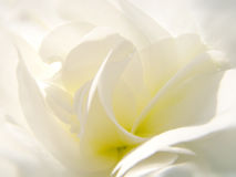 Soft flower. Macro white gentle flower with soft focus Stock Photography