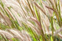 Soft flower grass poaceae. Stock Photos