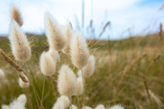 Soft flowers on Cezembre island in Brittany Stock Image