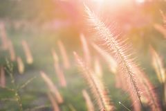 Soft flowers of grass and sky in the evening for the background stock photo