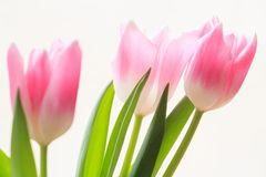 Soft flowers of tree pink tulips Royalty Free Stock Images