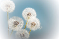 Soft and fluffy. Soft dandelion flowers against a blue sky Stock Photography