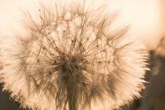 Soft fluffy dandelion on a background of green grass Stock Photos