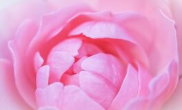Free Soft Focus, Abstract Floral Background, Pink Rose Flower Petals. Macro Flowers Backdrop For Holiday Design Stock Photos - 196927193