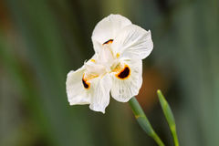 Soft focus of African iris, Fortnight lily, also called Dietes b. Icolor with blurred green garden background stock photo