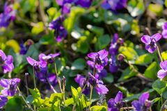 Soft focus against sun spring forest violets on background of blurred natural green. Heads of violets turned toward the sun. Nature concept for design royalty free stock photo