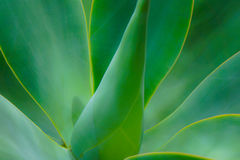 Soft focus Aloe Cactus Plant. Maui tropical garden green aloe plant with soft focus stock image
