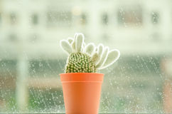 Soft Focus And Retro Tone For A Cactus Name Opuntia Microdasys (angel S-wings, Bunny Ears Cactus, Bunny Cactus Or Polka-dot Cactus
