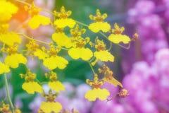 Oncidium Goldiana. Soft focus background, Yellow orchid Oncidium Goldiana, Dancing Lady orchid royalty free stock image