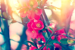 Soft focus on beautiful blooming Royalty Free Stock Image
