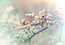 Soft of focus on Beautiful budding and flowering Royalty Free Stock Photo