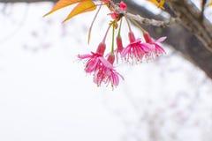 Soft focus, beautiful cherry blossom, bright pink flowers of Sak stock photography