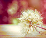 Soft focus on beautiful dandelion seeds Stock Photo