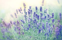 Soft focus on beautiful lavender flower. In flower garden stock photo