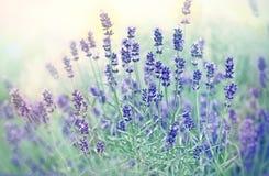 Soft focus on beautiful lavender flower Stock Photo