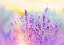 Soft focus on beautiful lavender flowers Stock Image