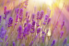 Soft focus on beautiful lavender in late afternoon Stock Photo