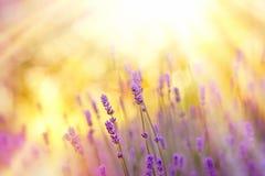 Soft focus on beautiful lavender Stock Photos