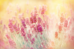 Soft focus on beautiful lavender Stock Photography