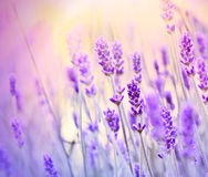 Soft focus on beautiful lavender with sun rays Stock Image