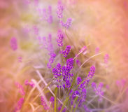 Soft focus on beautiful purple lavender Royalty Free Stock Images