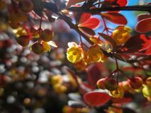 Soft focus of beautiful spring flowers Berberis thunbergii Atropurpurea blossom. Macro of tiny yellow flowers of barberry on backg royalty free stock images