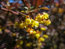 Soft focus of beautiful spring flowers Berberis thunbergii Atropurpurea blossom. Macro of tiny yellow flowers of barberry on backg royalty free stock photo