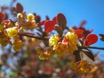 Soft focus of beautiful spring flowers Berberis thunbergii Atropurpurea blossom. Macro of tiny yellow flowers of barberry on backg. Round of elegant bokeh purple stock image