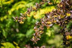 Soft focus of beautiful spring flowers Berberis thunbergii Erecta blossom. Macro of tiny yellow flowers on elegant bokeh green fol