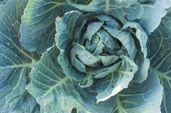 Soft focus of Big cabbage in the garden. The Soft focus of Big cabbage in the garden Stock Photos