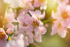 Soft focus on blooming branch Royalty Free Stock Photography