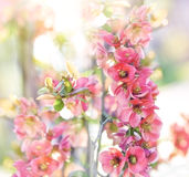 Soft focus on blooming - flowering branches Royalty Free Stock Photo