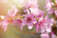 Soft focus on blooming fruit tree Royalty Free Stock Photo