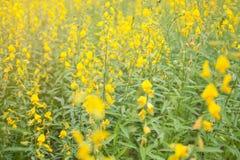 Blooming Indian hemp flower field, Sunn Hemp plant for improving soil. Soft focus of blooming Indian hemp flower field, Sunn Hemp plant for improving soil Royalty Free Stock Images