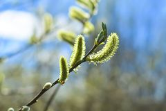 soft focus. Blooming willow close up. Image for background, greeting card, greeting, and project or design stock photos
