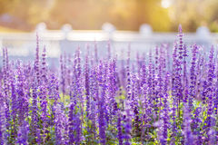 Soft Focus of Blue Salvia Flower Field Stock Image