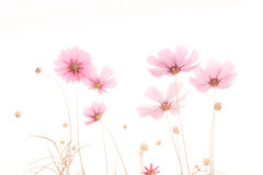 Soft focus and blurred cosmos flower. S on white background stock photography