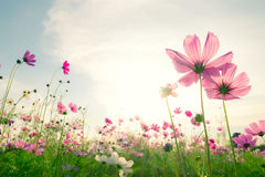 Soft focus and blurred cosmos flowers. On pastel color style for background stock image