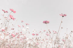 Soft focus and blurred cosmos flowers. On pastel color style for background Stock Photo