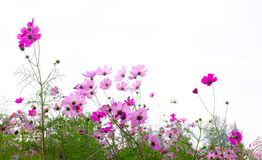 Soft focus and blurred cosmos flowers. On pastel color style for background Royalty Free Stock Image