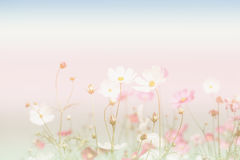 Soft focus and blurred cosmos flowers on pastel color style for Stock Images