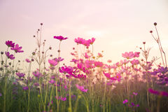 Soft focus and blurred cosmos flowers. On sunset background royalty free stock photography